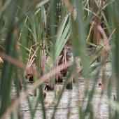 Australasian bittern. Adult hidden among raupo (centre of image). Waitangi wetland, Hawke's Bay, March 2015. Image © Adam Clarke by Adam Clarke
