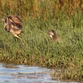 Australasian bittern. Adult taking flight from another displaying adult. Waitangi wetland, Hawke's Bay, March 2015. Image © Adam Clarke by Adam Clarke