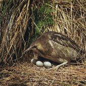 Australasian bittern. Adult at nest with 4 eggs. . Image © Department of Conservation (image ref: 10028776) by Mike Soper, Department of Conservation Courtesy of Department of Conservation
