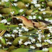 Little bittern. Adult foraging. Parklakes Wetland, Bli Bli, Queensland, January 2015. Image © Paul Jensen 2015 birdlifephotography.org.au by Paul Jensen