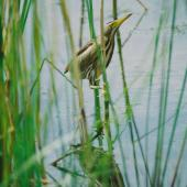 Little bittern. Immature hiding motionless in the reeds. Debrecen, June 2014. Image © Tamas Zeke by Gabor Zeke Little bittern regular breeder in the reed covered banks of the lakes around Debrecen as well as in the lowland region of Hungary.