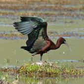 Glossy ibis. Adult with wings raised. Wairau oxidation ponds, October 2008. Image © Duncan Watson by Duncan Watson