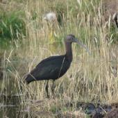 Glossy ibis. Non-breeding adult. Manapouri, April 2017. Image © Robbie Leslie by Robbie Leslie