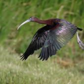 Glossy ibis. Adult in flight. Western Treatment Plant, Werribee, Victoria, January 2019. Image © Con Duyvestyn 2019 birdlifephotography.org.au by Con Duyvestyn