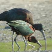 Glossy ibis. Breeding plumage. Ohiwa Harbour, April 2012. Image © Tim Barnard by Tim Barnard