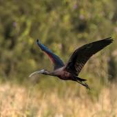 Glossy ibis. Adult in flight. Ballina, New South Wales, July 2018. Image © Bruce McNaughton 2018 birdlifephotography.org.au by Bruce McNaughton
