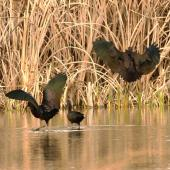 Glossy ibis. Wing plumage variations in adults. Parsons wetland, Wairau Lagoons, Marlborough, August 2015. Image © Will Parsons by Will Parsons