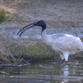 White ibis. Adult with freshwater crayfish. Burns Beach area, Western Australia, September 2015. Image © Marie-Louise Myburgh by Marie-Louise Myburgh