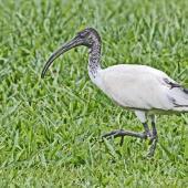 White ibis. Juvenile. Queensland, Australia, September 2010. Image © Dick Porter by Dick Porter