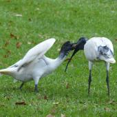 White ibis. Fledgling being fed. Hyde Park, Sydney, New South Wales, Australia, March 2014. Image © Alan Tennyson by Alan Tennyson