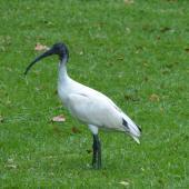 White ibis. Fledgling. Hyde Park, Sydney, New South Wales, Australia, March 2014. Image © Alan Tennyson by Alan Tennyson