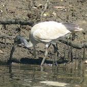 White ibis. Juvenile foraging. Wolli Creek, Sydney, March 2019. Image © Alan Tennyson by Alan Tennyson