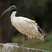 White ibis. Adult perched on fence. Sydney,  New South Wales,  Australia, December 2012. Image © Duncan Watson by Duncan Watson