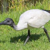 White ibis. Juvenile begging. Cairns, Queensland, December 2016. Image © Imogen Warren by Imogen Warren