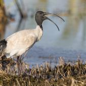 White ibis. Adult calling. Tolderol Game Reserve, South Australia, April 2019. Image © David Newell 2019 birdlifephotography.org.au by David Newell
