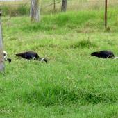 Straw-necked ibis. Flock feeding in a paddock. Gatton, Queensland Australia, April 2013. Image © Koos Baars by Koos Baars