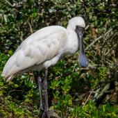 Royal spoonbill. Juvenile. Western Springs,  Auckland, August 2019. Image © Jonathan Mower by Jonathan Mower