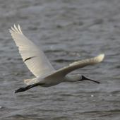 Royal spoonbill. Adult in flight showing upperwing. Waikanae River estuary, January 2012. Image © Bart Ellenbroek by Bart Ellenbroek