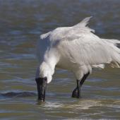 Royal spoonbill. Subadult feeding, with feathers ruffled by wind. Lake Ellesmere, March 2014. Image © Steve Attwood by Steve Attwood  http://www.flickr.com/photos/stevex2/