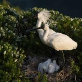 Royal spoonbill. Adults at nest with chicks. The Catlins, December 2012. Image © Craig McKenzie by Craig McKenzie