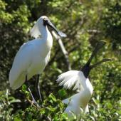 Royal spoonbill. Adults in breeding plumage displaying. Whataroa white heron colony, October 2016. Image © Scott Brooks (ourspot) by Scott Brooks