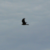 Black kite. Side flight silhouette. Renwick, January 2013. Image © Alan Tennyson by Alan Tennyson