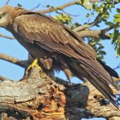 Black kite. Adult. Darwin, July 2012. Image © Dick Porter by Dick Porter