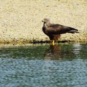 Black kite. Adult standing by water. Bas-rebourseaux, France, July 2016. Image © Cyril Vathelet by Cyril Vathelet