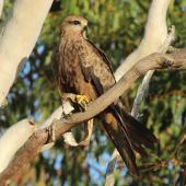 Black kite. Adult with food item. Mareeba, October 2013. Image © Imogen Warren by Imogen Warren