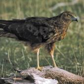 Swamp harrier. Adult feeding on dead mallard. , May 1995. Image © Peter Reese by Peter Reese