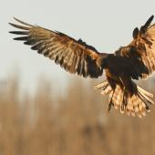 Swamp harrier. Preparing to land. Southland, June 2012. Image © Glenda Rees by Glenda Rees http://www.flickr.com/photos/nzsamphotofanatic/