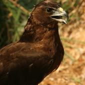 Swamp harrier. Immature(in captivity). Bird Rescue Wanganui, March 2010. Image © Ormond Torr by Ormond Torr
