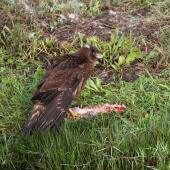 Swamp harrier. Juvenile mantling rabbit carcass. Haumoana, Hawkes Bay, May 2015. Image © Adam Clarke by Adam Clarke