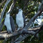 White-bellied sea eagle. Adult pair at roost. Ord River, Kununurra, Kimberley, Western Australia, August 2014. Image © Roger Smith by Roger Smith