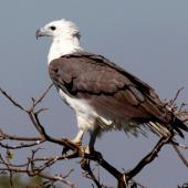 White-bellied sea eagle. Adult. Northern Territory,  Australia, July 2012. Image © Dick Porter by Dick Porter
