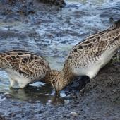 Japanese snipe. Adult pair busily feeding. Jerrabomberra Wetlands, Canberra, ACT, Australia, March 2019. Image © R.M. by R.M.