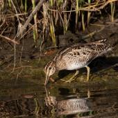 Japanese snipe. Feeding bird. Portland, Victoria, Australia, January 2010. Image © Sonja Ross by Sonja Ross