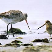 Japanese snipe. Adult (bar-tailed godwit on left). Manawatu River estuary, October 2000. Image © Alex Scott by Alex Scott