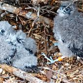 New Zealand falcon. Chicks on nest scrape. Kaingaroa Forest,  near Rotorua, December 2007. Image © Suzi Phillips by Suzi Phillips