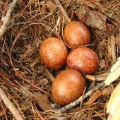 New Zealand falcon. Eggs in nest. Kaingaroa Forest,  near Rotorua, November 2006. Image © Andrew Thomas by Andrew Thomas