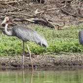 Unidentified crane. Two adult sarus cranes. Kakadu National Park, Northern Territory,  Australia, October 2013. Image © John Barkla 2014 birdlifephotography.org.au by John Barkla