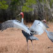 Unidentified crane. Adult sarus crane with wings spread. Weipa, Queensland, July 2014. Image © Paul Jensen 2014 birdlifephotography.org.au by Paul Jensen