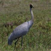 Unidentified crane. Adult brolga. Yeppoon,  Queensland. Image © Noel Knight by Noel Knight