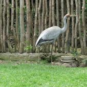 Unidentified crane. Adult brolga in captivity. Auckland Zoo, October 2007. Image © Heather Whear by Heather Whear