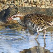 Banded rail. Adult foraging in tidal pool. Marahau Beach, Tasman Bay, April 2015. Image © Rob Lynch by Rob Lynch