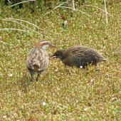 Banded rail. Female with chick. Marahau Beach, Tasman Bay, December 2011. Image © David Samways by David Samways