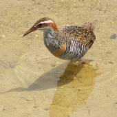 Banded rail. Male. Marahau Beach, Tasman Bay, December 2011. Image © David Samways by David Samways