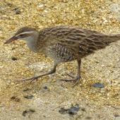 Banded rail. Juvenile. Marahau Beach, Tasman Bay, December 2011. Image © David Samways by David Samways