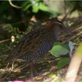Banded rail. Adult. Kundy Island, Stewart Island, March 2011. Image © Colin Miskelly by Colin Miskelly