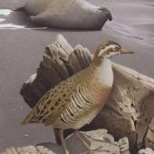 Banded rail. Macquarie Island rail. Image 2006-0010-1/46 from the series 'Extinct birds of New Zealand'. Masterton. Image © Purchased 2006. © Te Papa by Paul Martinson See Te Papa website: http://collections.tepapa.govt.nz/objectdetails.aspx?irn=710949&term=macquarie+Island+rail